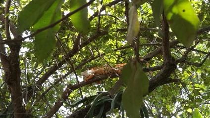 L'iguane jaune