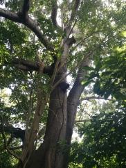 Le Ceiba, arbre sacré